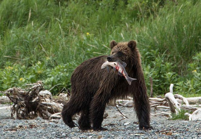 Бурый медведь. Фото Франц Хафнер.jpg